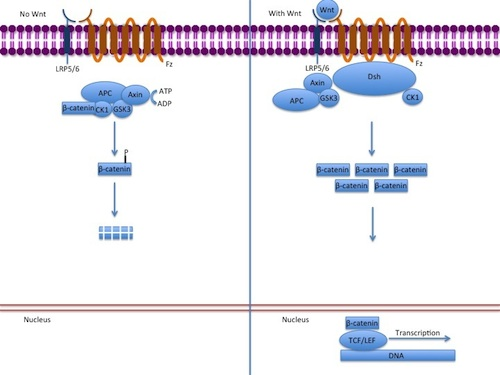 Canonical_Wnt_pathway