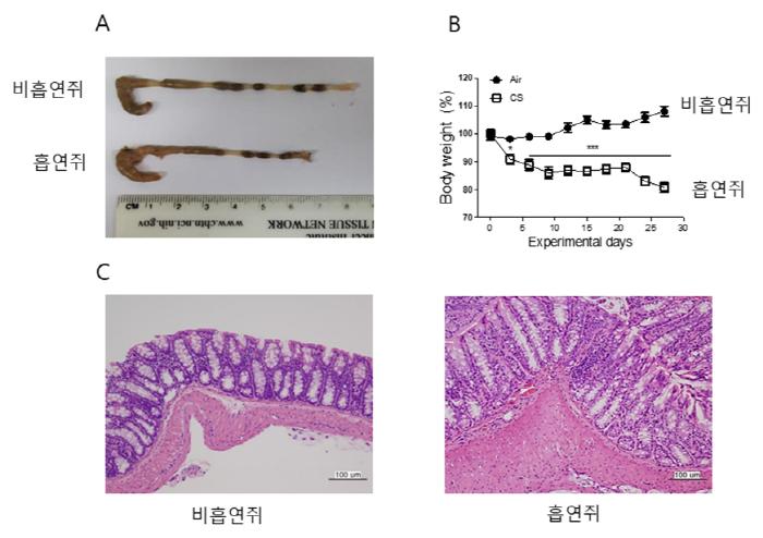 ▲(A) 흡연에 노출된 쥐는 대장에 염증이 생겨 대장 길이가 감소했다. (B) 흡연에 노출된 쥐는 지속적인 설사로 몸무게가 줄어들었다. (C) 흡연에 노출된 쥐는 대장 조직이 두꺼워 지면서 면역세포가 급격히 증가했다. 이러한 현상은 염증성 대장염의 대표적인 특징으로서 흡연만으로도 대장염증이 발생함을 보여준다.